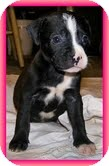 Labrador Retriever/Boston Terrier Mix Puppy for adoption in Staunton, Virginia - Oreo