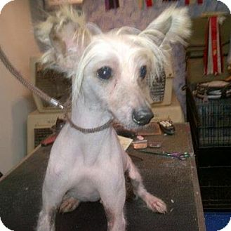 Chinese Crested Dog for adoption in Mt Gretna, Pennsylvania - Fabio
