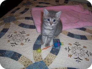 Domestic Shorthair Kitten for adoption in East Brunswick, New Jersey - Sassy