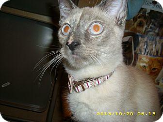 Siamese Cat for adoption in Brea, California - QUEENIE