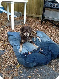 Australian Shepherd Mix Dog for adoption in Saskatoon, Saskatchewan - Sydney