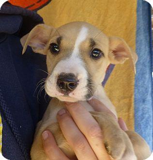 Boxer/Labrador Retriever Mix Puppy for adoption in Oviedo, Florida - Kenny