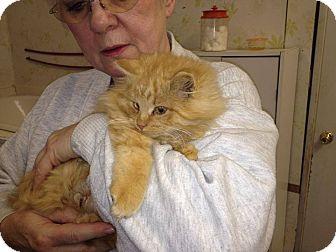 Maine Coon Kitten for adoption in tama, Iowa - Frosty