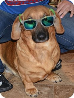 Basset Hound/Dachshund Mix Dog for adoption in Spring Valley, New York - Joe