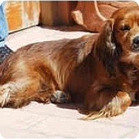 Adopt A Pet :: Abe - Albuquerque, NM