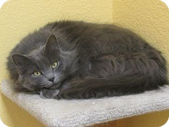 Domestic Mediumhair Cat for adoption in Benbrook, Texas - Feather