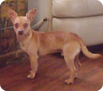 Chihuahua Puppy for adoption in New Smyrna beach, Florida - Roscoe