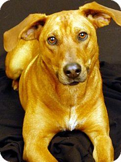 Labrador Retriever/Hound (Unknown Type) Mix Dog for adoption in Newland, North Carolina - Gus *Trained