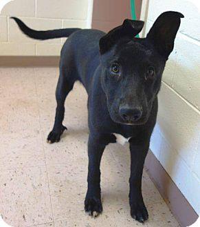 Shepherd (Unknown Type) Mix Dog for adoption in McDonough, Georgia - Neptune