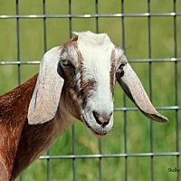 Adopt A Pet :: Vie - Mead, WA