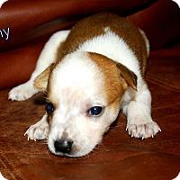 Adopt A Pet :: Tiny - Austin, TX
