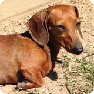 Dachshund Dog for adoption in Houston, Texas - Suzette Syrah