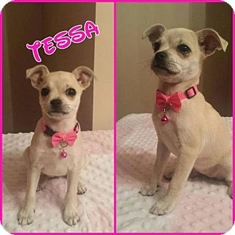 Chihuahua/Pug Mix Puppy for adoption in Rockford, Illinois - Tessa