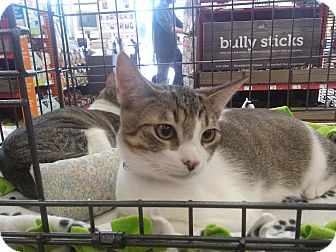 Domestic Shorthair Kitten for adoption in Alamo, California - Merlin