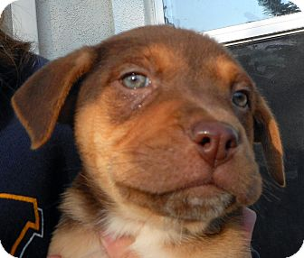 Labrador Retriever/Australian Shepherd Mix Puppy for adoption in Oakley, California - Baby Peppermint Pattie