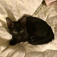 Domestic Shorthair Kitten for adoption in Burbank, California - Nadia