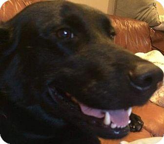 Labrador Retriever Mix Dog for adoption in Houston, Texas - Linny