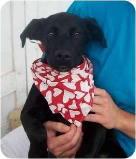Labrador Retriever Mix Puppy for adoption in Chapel Hill, North Carolina - Trevor