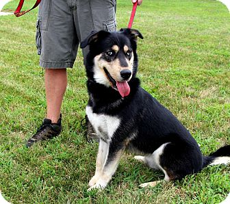 Siberian Husky/Labrador Retriever Mix Dog for adoption in West Chester, Pennsylvania - Kato