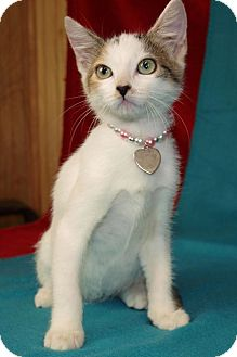 Domestic Shorthair Kitten for adoption in Jackson, Mississippi - Jelly Bean