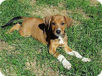 Labrador Retriever/Australian Shepherd Mix Puppy for adoption in New Oxford, Pennsylvania - Idele