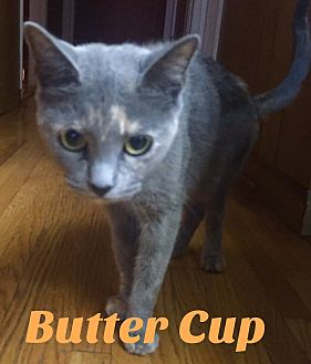 Calico Cat for adoption in Harrison, New York - Buttercup