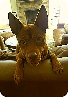 Basenji/Feist Mix Dog for adoption in Allentown, Pennsylvania - Duke