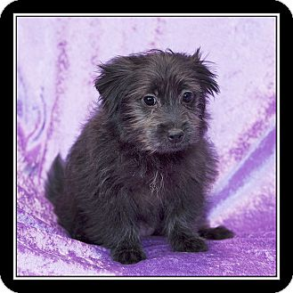 Maltese/Pomeranian Mix Puppy for adoption in San Diego, California - Erin