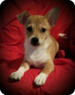 Chihuahua/Corgi Mix Puppy for adoption in Allentown, Pennsylvania - Bentley