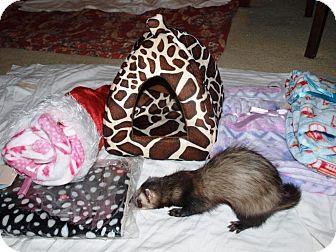 Ferret for adoption in Acworth, Georgia - Minnie