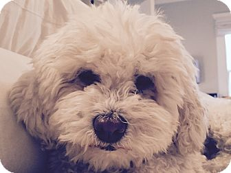 Poodle (Miniature)/Bichon Frise Mix Dog for adoption in Los Angeles, California - Pearl - Courtesy Listing