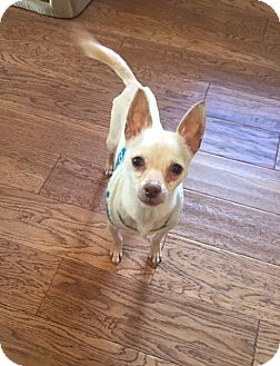 Chihuahua Mix Dog for adoption in Newtown, Connecticut - Paca
