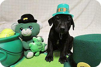 Labrador Retriever Mix Puppy for adoption in New Oxford, Pennsylvania - Nugget