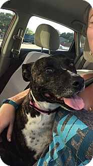 Boxer/American Staffordshire Terrier Mix Dog for adoption in Justin, Texas - Lucy