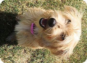 Cairn Terrier Puppy for adoption in Watauga, Texas - Molly