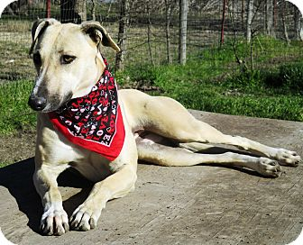Greyhound/Whippet Mix Dog for adoption in Godley, Texas - Cindy
