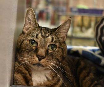 Domestic Shorthair/Domestic Shorthair Mix Cat for adoption in Lewiston, Maine - Kadabra *Hyperthyroid*