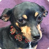 Adopt A Pet :: Bailey - Garland, TX