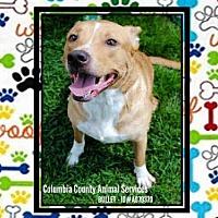 Pit Bull Terrier Mix Dog for adoption in Grovetown, Georgia - BULLET