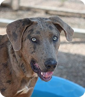 Catahoula Leopard Dog Dog for adoption in Mahwah, New Jersey - Doofus