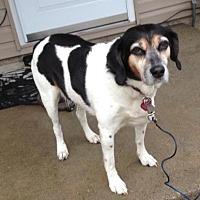 Adopt A Pet :: Abbey - Sylvan Lake, MI