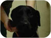 Labrador Retriever Mix Dog for adoption in Brookville, Ohio - Paige