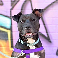 Adopt A Pet :: *Courtesy Post* Balthazar - Brooklyn, NY