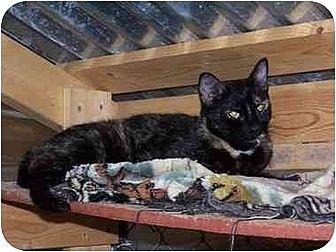 Domestic Shorthair Cat for adoption in Winnsboro, South Carolina - Tessa