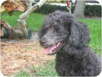 Miniature Poodle Mix Dog for adoption in Melbourne, Florida - BEPPE