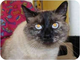 Siamese Cat for adoption in Spokane, Washington - Gyneva