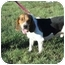 Photo 1 - Beagle Dog for adoption in Glastonbury, Connecticut - Carter