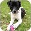 Photo 1 - Labrador Retriever/Spaniel (Unknown Type) Mix Dog for adoption in Mocksville, North Carolina - Josh