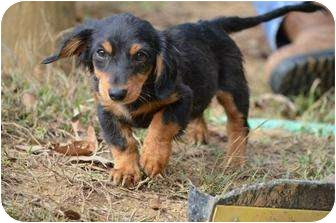 Dachshund Puppy for adoption in Stafford Springs, Connecticut - Dewey
