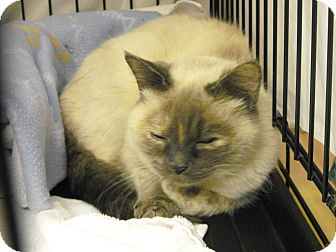 Siamese Cat for adoption in Mission, British Columbia - Bonnie
